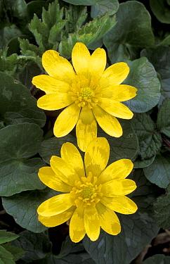 Lesser celandine flowers (Ranunculus ficaria) Scotland, UK  -  Niall Benvie/ npl