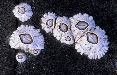 Common barnacles on old tyre (Balanus balanoides) Scotland, U  -  Niall Benvie/ npl