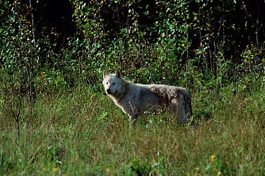 Grey wolf (Canis lupus) Wood Buffalo NP, Alberta, Canada  -  Jeff Turner/ npl