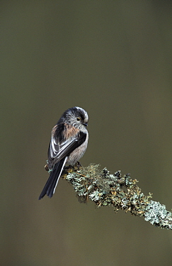 Long tailed tit perched (Aegithalos caudatus) UK  -  Steve Knell/ npl