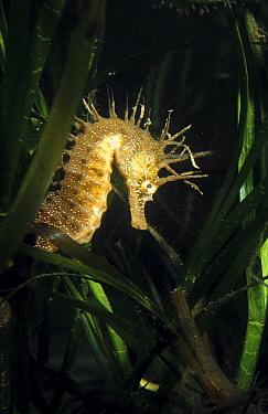 Maned seahorse in algae (Hippocampus ramulosus) Mediterranean  -  Jose B. Ruiz/ npl
