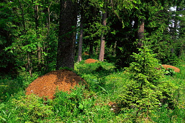 Wood ant nests from supercolony of 1500 interconnected nests (Formica paralugubris) Jura mountains, Switzerland  -  Simon Williams/ npl