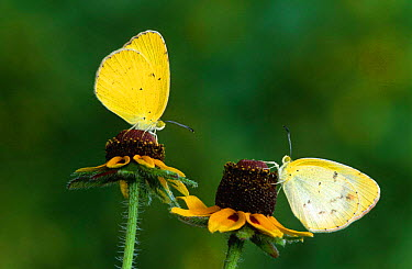 Little yellow butterfly pair (Eurema lisa) Texas, USA  -  Rolf Nussbaumer/ npl