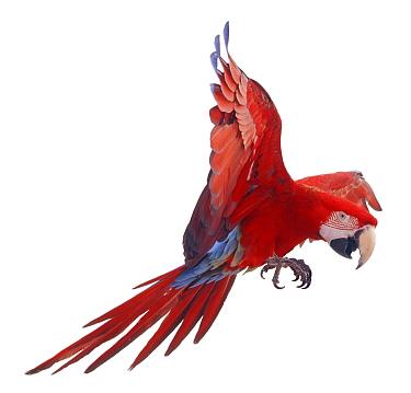 Green winged macaw (Ara chloroptera) in flight, Captive  -  Mark Taylor/ npl