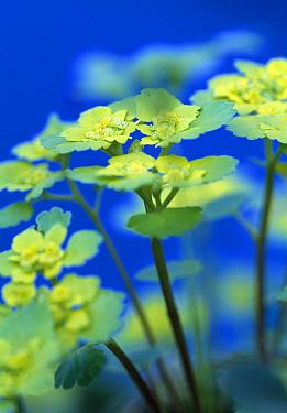 Alternate leaved saxifrage (Chrysoplenium alternifolium) Estonia  -  Niall Benvie/ npl