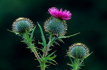 Spear thistle (Cirsium vulgare) cflowering, Scotland, UK  -  Niall Benvie/ npl