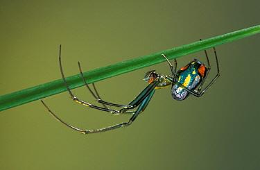 Orchard orbweaver spider (Leucauge venusta) Florida, USA  -  Ingo Arndt/ npl