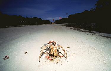 Coconut crab (Birgus latro) scavenging on Red crab road kill at night, Christmas Island  -  Jurgen Freund/ npl