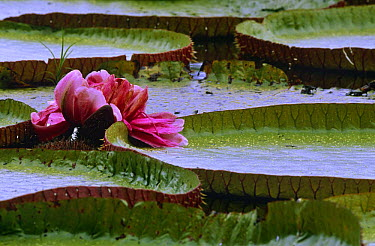Royal water lily (Victoria amazonica) Guyana, South America aka Giant or Victoria lily  -  Pete Oxford/ npl