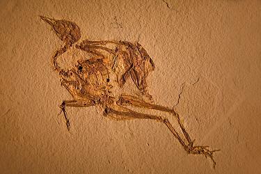 Bird fossil, Messetorais neactica, Eocene period, Fossil Butte NM, Wyoming, USA  -  Jeff Vanuga/ npl