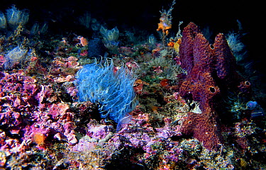 Sea anomone (Aiptasia mutabilis) Mediterranean  -  Jose B. Ruiz/ npl