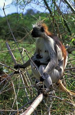 Zanzibar red colobus monkey mother with young (Colobus badius kirkii) Zanzibar, Tanzania  -  Brent Hedges/ npl
