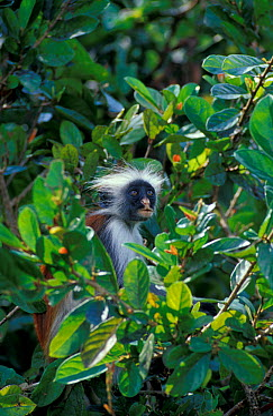 Zanzibar red colubus monkey (Colobus badius kirkii) Zanzibar, East Africa  -  Brent Hedges/ npl