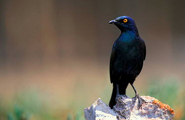 Red shouldered (cape) glossy starling (Lamprotornis nitens) Etosha NP, Namibia  -  Andrew Parkinson/ npl