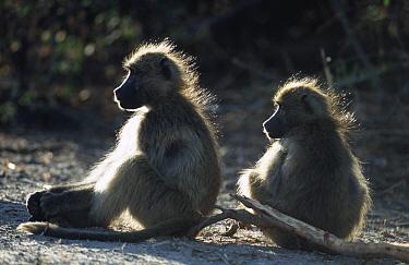 Two Chacma baboons warming in dawn sunlight (Papio ursinus) Chobe NP, Botswana  -  Andrew Parkinson/ npl