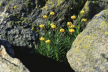 Pyrenean lily (Lilium pyrenaicum) flowering in rock crevice, Aigues Tortes NP, Pyrenees, Spain  -  Jean E. Roche/ npl