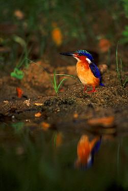 Madagascar kingfisher, Ankarana, Madagascar  -  Pete Oxford/ npl
