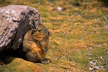 Common mountain viscacha, Lauca NP, Chile, South America  -  Pete Oxford/ npl