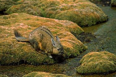 Common mountain viscacha, Lauca National Park, Chile, South America  -  Pete Oxford/ npl