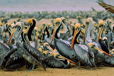 Chilean pelicans (Pelecanus occidentalis thagus) gathering to breed Isla la Lobos de Tierra, Peru, South America  -  Pete Oxford/ npl