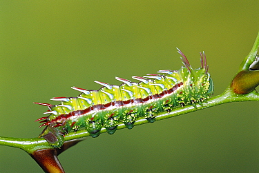 Moon moth caterpillar with warning colouration (Syssphinx mexicana) Guanacaste, Costa Rica  -  Ingo Arndt/ npl