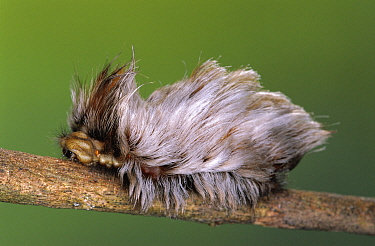 Flannel moth (Megalopygidae) with hairs for defence Guanacaste, Costa Rica  -  Ingo Arndt/ npl