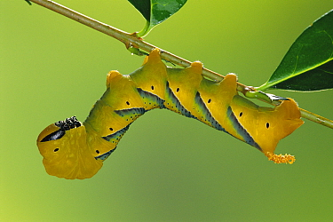 Death's head hawkmoth caterpillar in defence posture (Acherontia atropos) Germany  -  Ingo Arndt/ npl