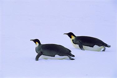 Emperor penguins toboganning (Aptenodytes forsteri) Weddell Sea  -  Pete Oxford/ npl