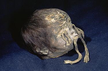 Tsansa shrunken head, Shuar, Indian Ecuador  -  Pete Oxford/ npl