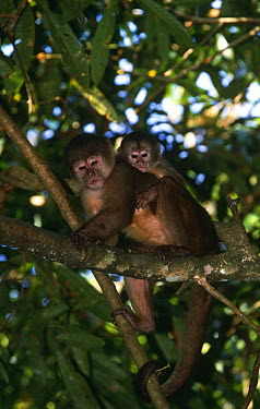 White fronted capuchin monkey (Cebus albifrons) mother with young, Amazonia, Ecuador  -  Pete Oxford/ npl
