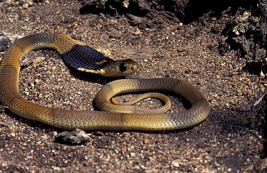 Snouted cobra juvenile (Naja annulifera) Limpopo, South Africa  -  Tony Phelps/ npl