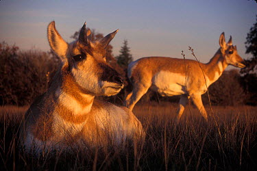 Two Pronghorn antelope females (Antilocapra americana) Hart mtn NWR, Oregon, USA  -  Michael Durham/ npl