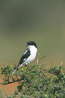 Taita fiscal shrike (Lanius dorsalis) on acacia tree Samburu NP, Kenya  -  Mike Read/ npl