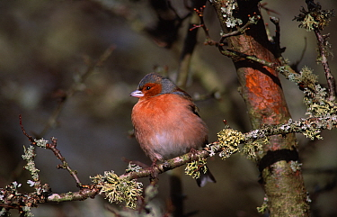 Chaffinch male in winter (Fringilla coelebs) Devon, England  -  Mike Read/ npl