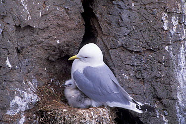Kittiwake and chick at nest on cliff (Rissa tridactyla) Iceland  -  Patricio Robles Gil/ npl