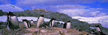 Gentoo penguin colony with chicks (Pygoscelis papua) Peterman Is, Antarctica  -  Terry Andrewartha/ npl