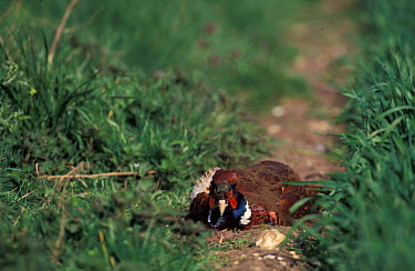 Cock Pheasant dust bathing (Phasianus colchicus) Norfolk, U  -  Terry Andrewartha/ npl