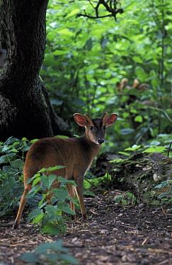 Muntjac deer buck (Muntiacus reevesi) Norfolk, UK  -  Terry Andrewartha/ npl