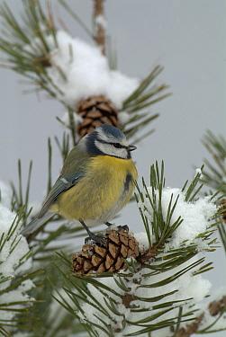 Blue tit (Parus caeruleus) on conifer in snow, UK  -  Dave Watts/ npl