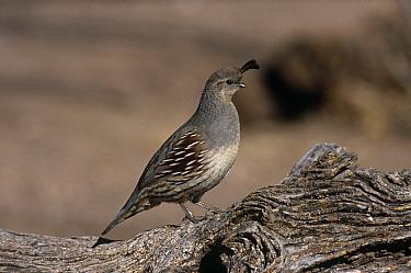 Gambel's Quail (Lophortyx, Callipepla gambelii) female, Bosque del Appache NP, New Mexico, USA  -  George Mccarthy/ npl