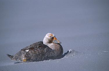Flightless steamer duck on beach with blowing sand (Tachyeres pteneres) Falkland Is  -  Ben Osborne/ npl