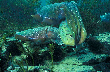 Giant cuttlefish male (top) and female courtship (Sepia apama) Whyalla, South Australia  -  Hugh Pearson/ npl