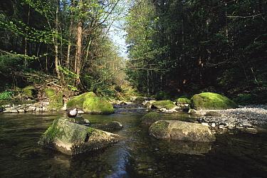 Dipper on rock in river (Cinclus cinclus) Switzerland  -  Rolf Nussbaumer/ npl