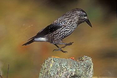 Nutcracker landing on post (Nucifraga caryocatactes) Switzerland  -  Rolf Nussbaumer/ npl
