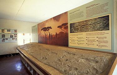 Cast of footprints of early man (Australopithecus) Olduvai gorge museum, Tanzania Serengeti,  -  Jose B. Ruiz/ npl