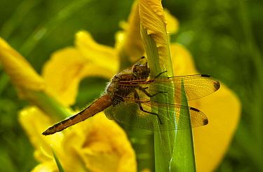 Scarce chaser dragonfly (Libellula fulva) on yellow flag iris, UK  -  Steve Knell/ npl