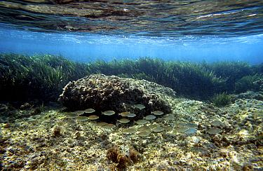 Neptune seagrass (Posidonia oceanica) forms large prairies of grass in well lit seabeds Mediterranean  -  Jose B. Ruiz/ npl