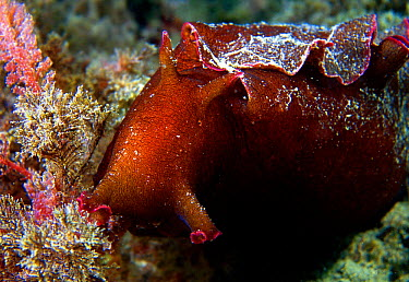 Seahare (Aplysia punctata) nudibranch feeds on algae When disturbed ejects purple defensive 'ink' Mediterranean Spain  -  Jose B. Ruiz/ npl