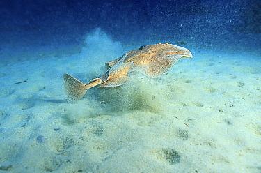 Marbled electric ray swims away from sandy seabed (Torpedo marmorata) Mediterranean  -  Jose B. Ruiz/ npl