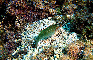 Wrasse (Symphodus rostratus) male at nest on seabed Mediterranean  -  Jose B. Ruiz/ npl